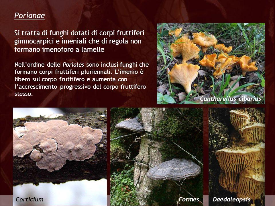 Porianae Si tratta di funghi dotati di corpi fruttiferi gimnocarpici e imeniali che di regola non formano imenoforo a lamelle.