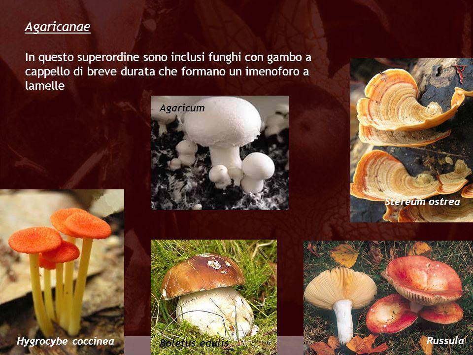 Agaricanae In questo superordine sono inclusi funghi con gambo a cappello di breve durata che formano un imenoforo a lamelle.