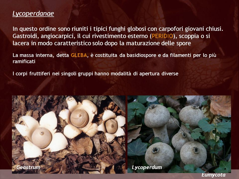 Lycoperdanae