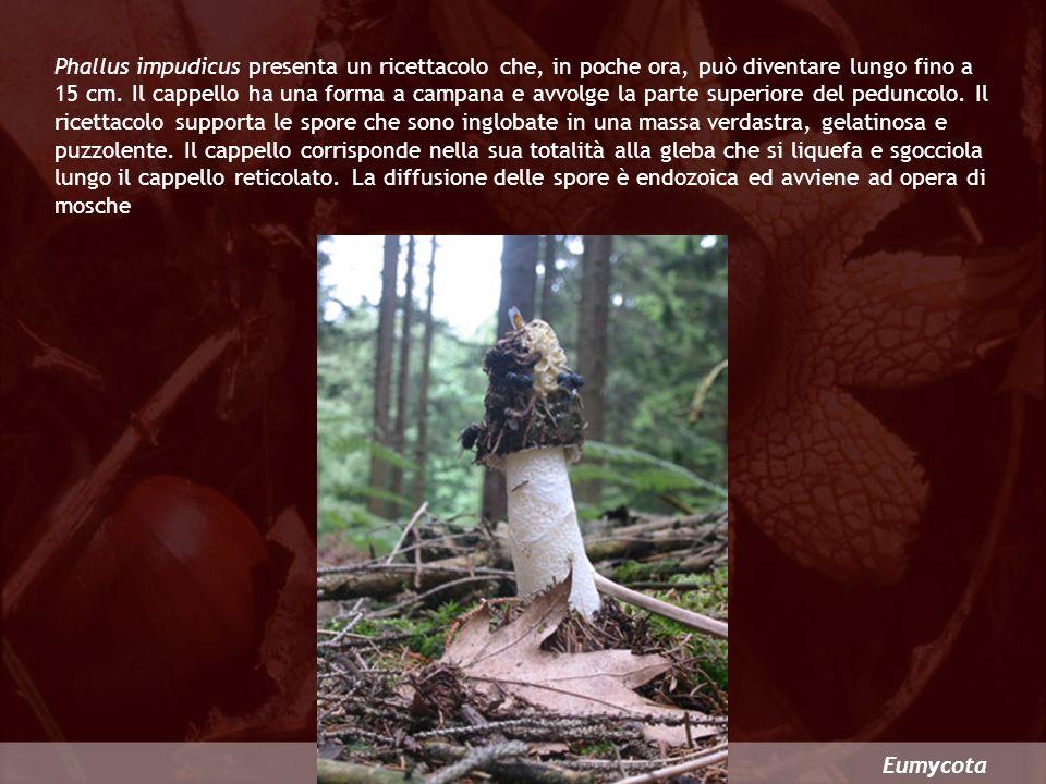 Phallus impudicus presenta un ricettacolo che, in poche ora, può diventare lungo fino a 15 cm. Il cappello ha una forma a campana e avvolge la parte superiore del peduncolo. Il ricettacolo supporta le spore che sono inglobate in una massa verdastra, gelatinosa e puzzolente. Il cappello corrisponde nella sua totalità alla gleba che si liquefa e sgocciola lungo il cappello reticolato. La diffusione delle spore è endozoica ed avviene ad opera di mosche