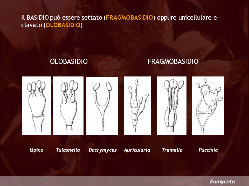 OLOBASIDIO FRAGMOBASIDIO