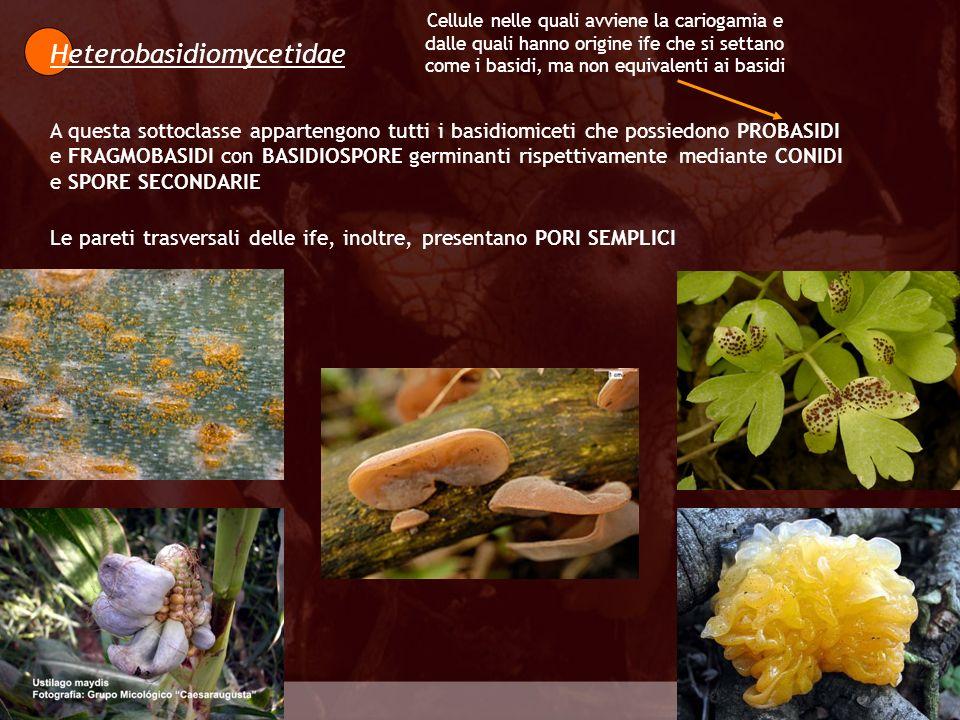 Heterobasidiomycetidae