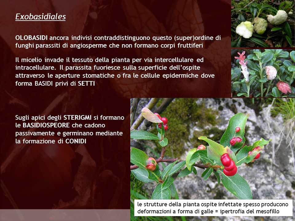 Exobasidiales OLOBASIDI ancora indivisi contraddistinguono questo (super)ordine di funghi parassiti di angiosperme che non formano corpi fruttiferi.