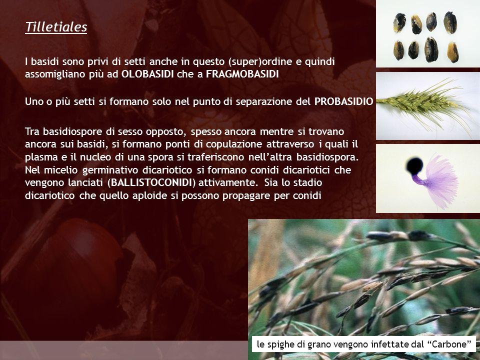 Tilletiales I basidi sono privi di setti anche in questo (super)ordine e quindi assomigliano più ad OLOBASIDI che a FRAGMOBASIDI.