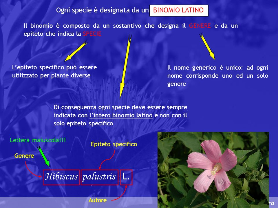 Hibiscus palustris L. Ogni specie è designata da un BINOMIO LATINO