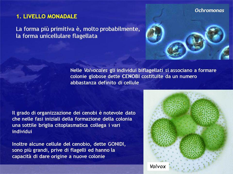 Ochromonas 1. LIVELLO MONADALE. La forma più primitiva è, molto probabilmente, la forma unicellulare flagellata.