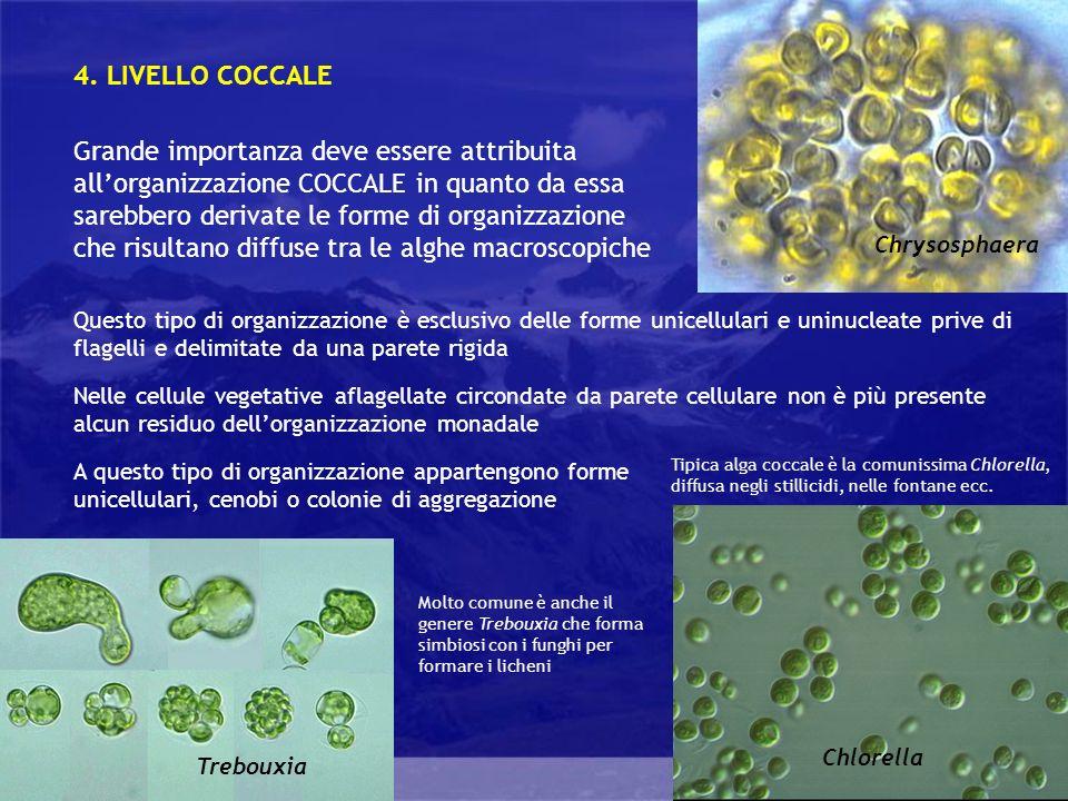 4. LIVELLO COCCALE