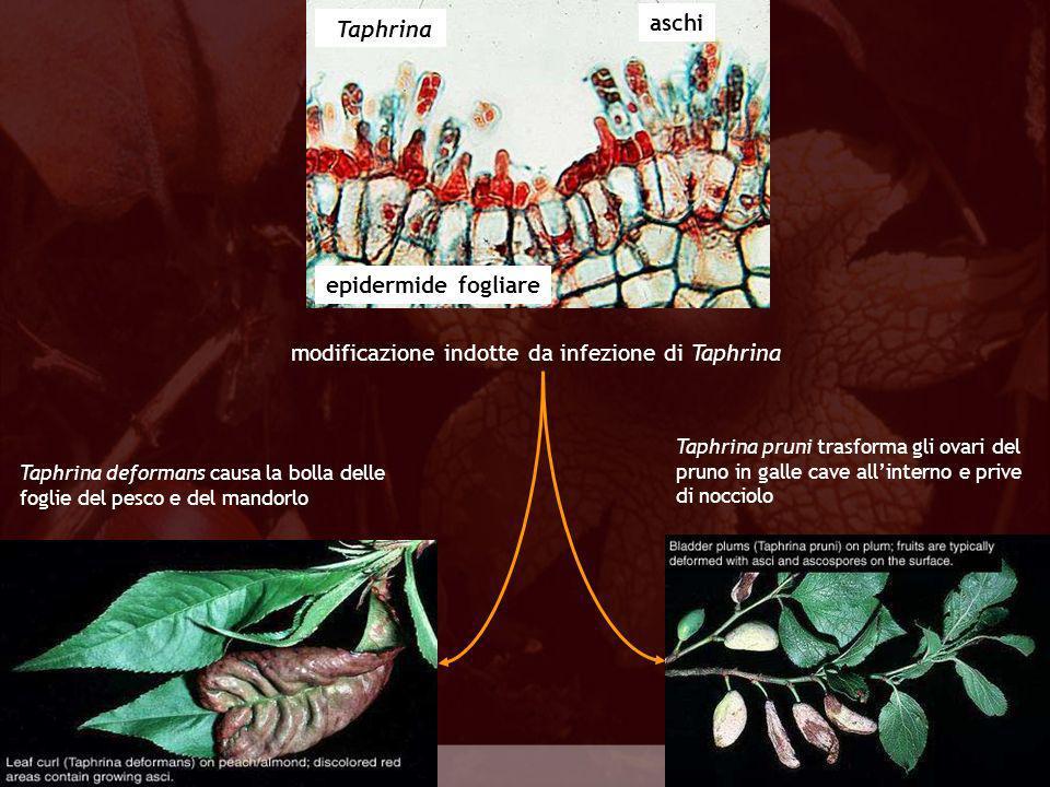 modificazione indotte da infezione di Taphrina