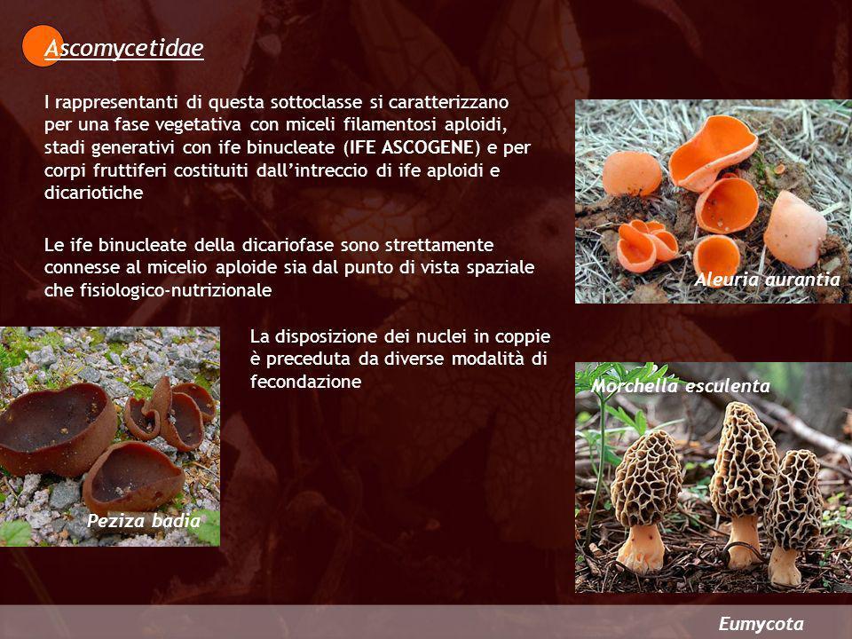 Ascomycetidae