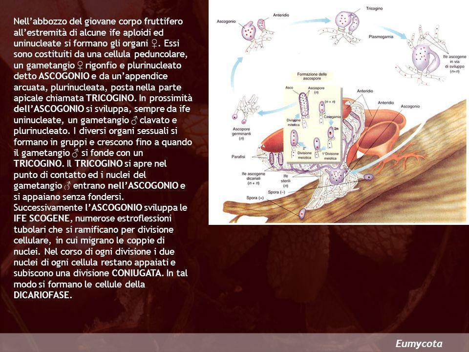 Nell'abbozzo del giovane corpo fruttifero all'estremità di alcune ife aploidi ed uninucleate si formano gli organi ♀. Essi sono costituiti da una cellula peduncolare, un gametangio ♀ rigonfio e plurinucleato detto ASCOGONIO e da un'appendice arcuata, plurinucleata, posta nella parte apicale chiamata TRICOGINO. In prossimità dell'ASCOGONIO si sviluppa, sempre da ife uninucleate, un gametangio ♂ clavato e plurinucleato. I diversi organi sessuali si formano in gruppi e crescono fino a quando il gametangio ♂ si fonde con un TRICOGINO. Il TRICOGINO si apre nel punto di contatto ed i nuclei del gametangio ♂ entrano nell'ASCOGONIO e si appaiano senza fondersi. Successivamente l'ASCOGONIO sviluppa le IFE SCOGENE, numerose estroflessioni tubolari che si ramificano per divisione cellulare, in cui migrano le coppie di nuclei. Nel corso di ogni divisione i due nuclei di ogni cellula restano appaiati e subiscono una divisione CONIUGATA. In tal modo si formano le cellule della DICARIOFASE.