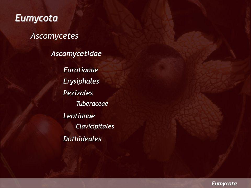 Eumycota Ascomycetes Ascomycetidae Eurotianae Erysiphales Pezizales