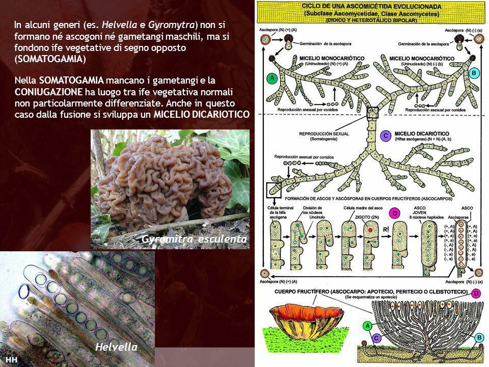 Gyromitra esculenta Helvella Eumycota