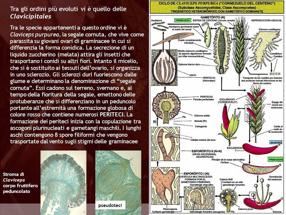 Tra gli ordini più evoluti vi è quello delle Clavicipitales
