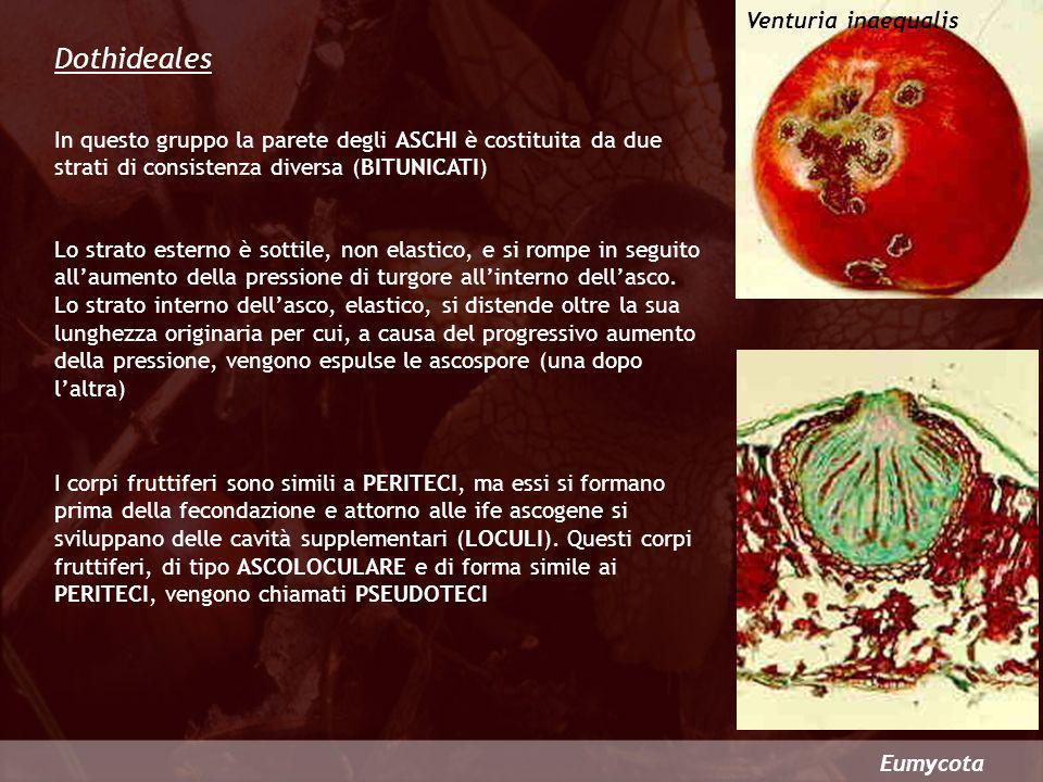 Dothideales Venturia inaequalis