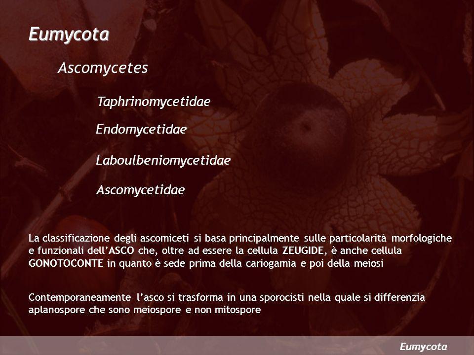 Eumycota Ascomycetes Taphrinomycetidae Endomycetidae