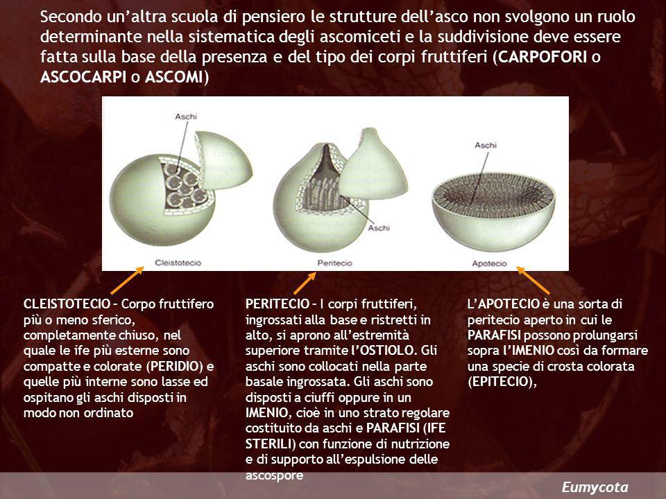 Secondo un'altra scuola di pensiero le strutture dell'asco non svolgono un ruolo determinante nella sistematica degli ascomiceti e la suddivisione deve essere fatta sulla base della presenza e del tipo dei corpi fruttiferi (CARPOFORI o ASCOCARPI o ASCOMI)