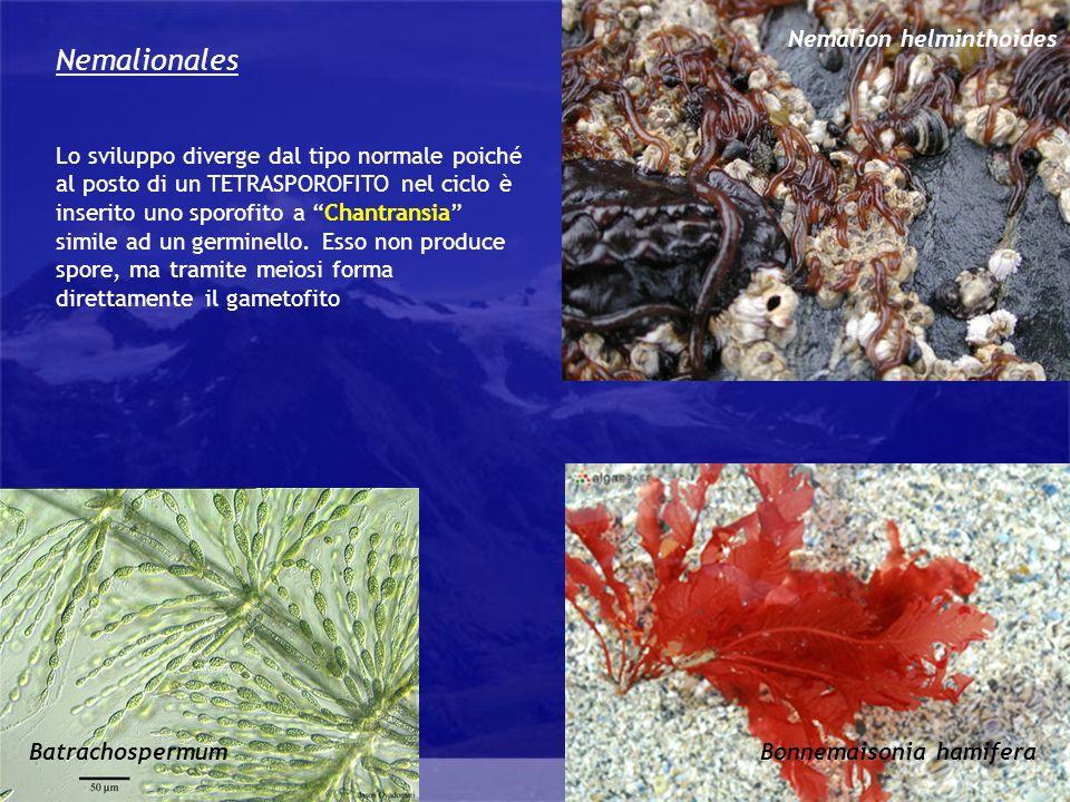 Nemalionales Nemalion helminthoides