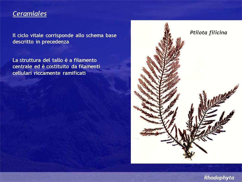 Ceramiales Ptilota filicina