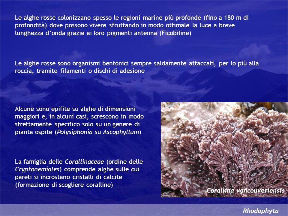 Le alghe rosse colonizzano spesso le regioni marine più profonde (fino a 180 m di profondità) dove possono vivere sfruttando in modo ottimale la luce a breve lunghezza d'onda grazie ai loro pigmenti antenna (Ficobiline)