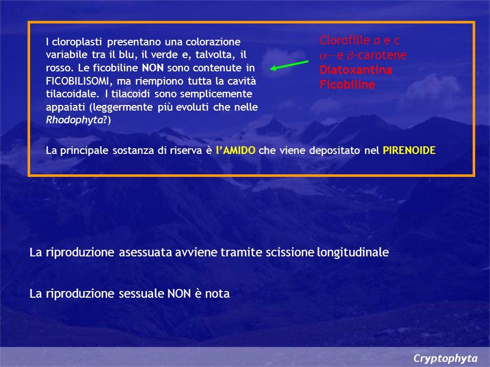 La riproduzione asessuata avviene tramite scissione longitudinale