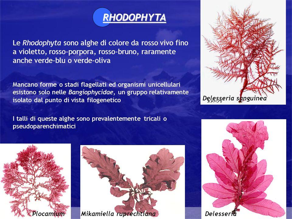 RHODOPHYTALe Rhodophyta sono alghe di colore da rosso vivo fino a violetto, rosso-porpora, rosso-bruno, raramente anche verde-blu o verde-oliva.