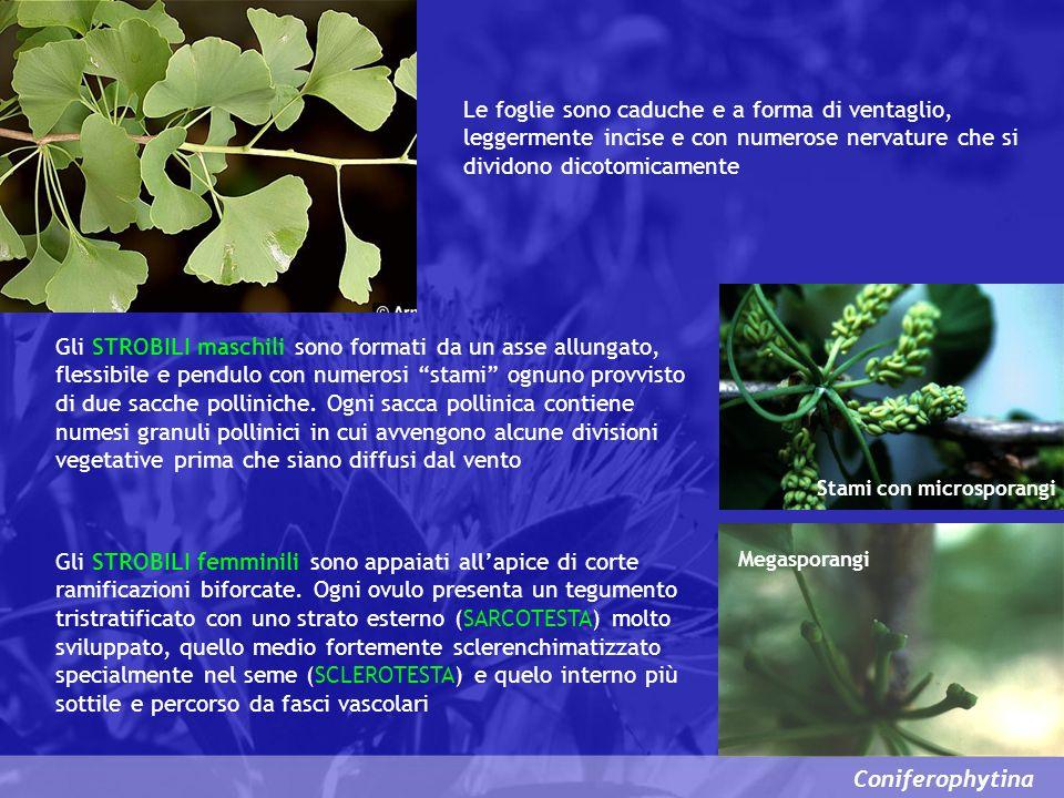 Le foglie sono caduche e a forma di ventaglio, leggermente incise e con numerose nervature che si dividono dicotomicamente
