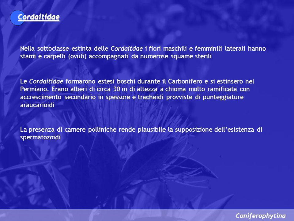 Cordaitidae