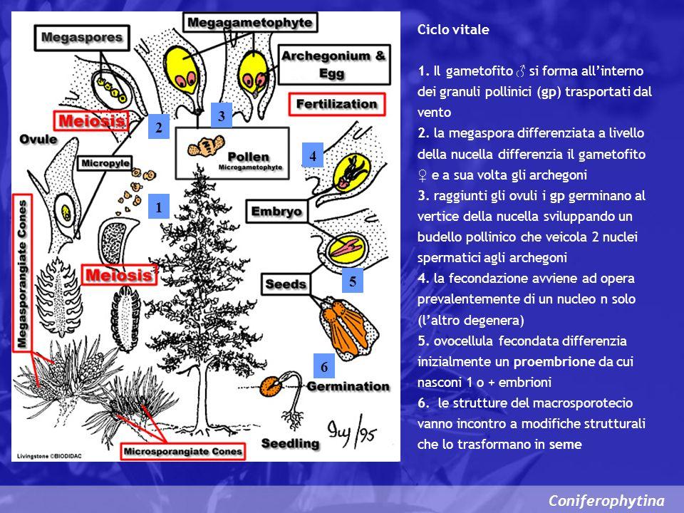 3 2 4 1 5 6 Coniferophytina Ciclo vitale