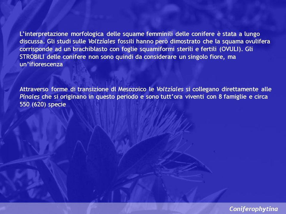 L'interpretazione morfologica delle squame femminili delle conifere è stata a lungo discussa. Gli studi sulle Voltziales fossili hanno però dimostrato che la squama ovulifera corrisponde ad un brachiblasto con foglie squamiformi sterili e fertili (OVULI). Gli STROBILI delle conifere non sono quindi da considerare un singolo fiore, ma un'ifiorescenza