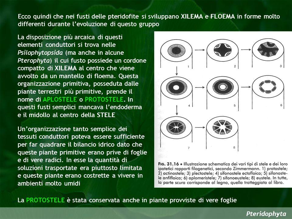 Ecco quindi che nei fusti delle pteridofite si sviluppano XILEMA e FLOEMA in forme molto differenti durante l'evoluzione di questo gruppo