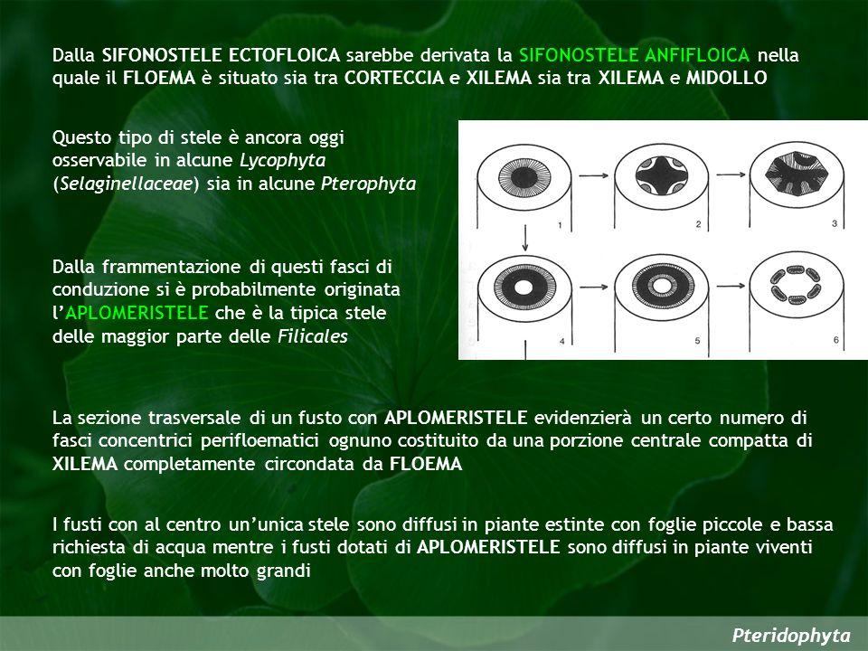 Dalla SIFONOSTELE ECTOFLOICA sarebbe derivata la SIFONOSTELE ANFIFLOICA nella quale il FLOEMA è situato sia tra CORTECCIA e XILEMA sia tra XILEMA e MIDOLLO