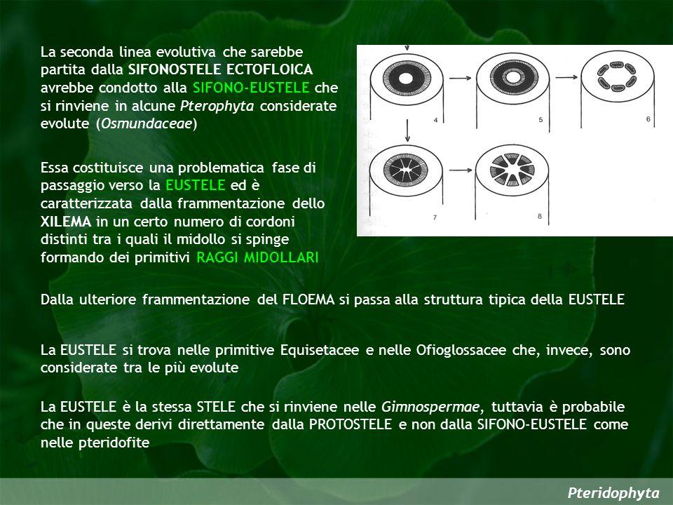 La seconda linea evolutiva che sarebbe partita dalla SIFONOSTELE ECTOFLOICA avrebbe condotto alla SIFONO-EUSTELE che si rinviene in alcune Pterophyta considerate evolute (Osmundaceae)