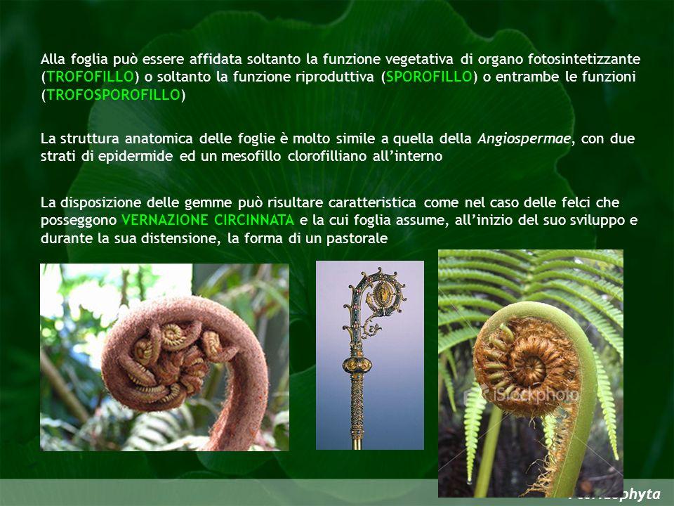 Alla foglia può essere affidata soltanto la funzione vegetativa di organo fotosintetizzante (TROFOFILLO) o soltanto la funzione riproduttiva (SPOROFILLO) o entrambe le funzioni (TROFOSPOROFILLO)