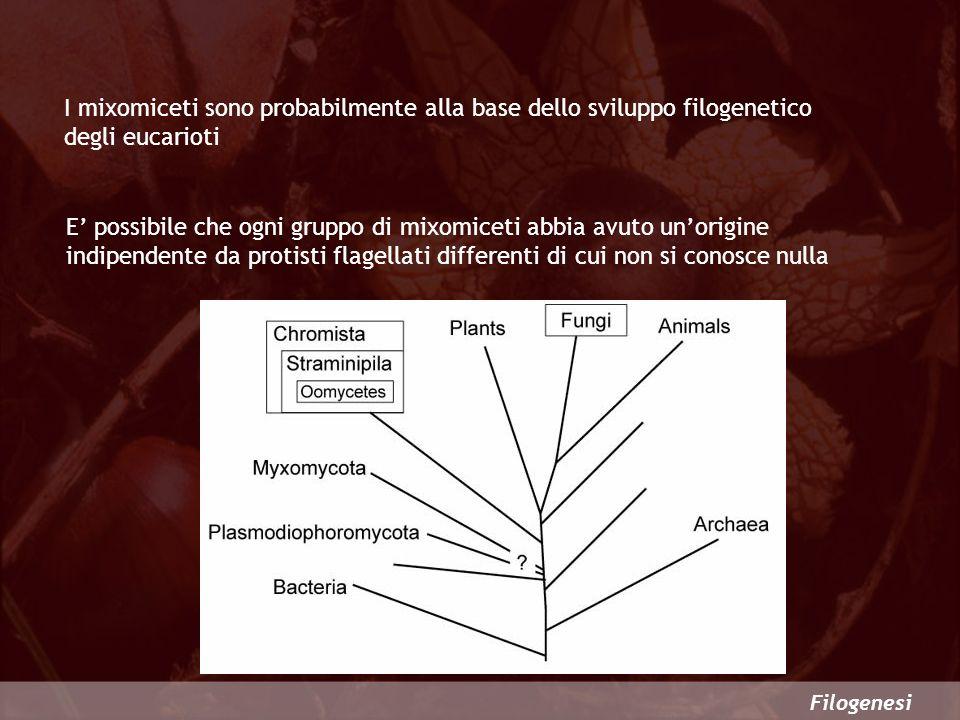 I mixomiceti sono probabilmente alla base dello sviluppo filogenetico degli eucarioti