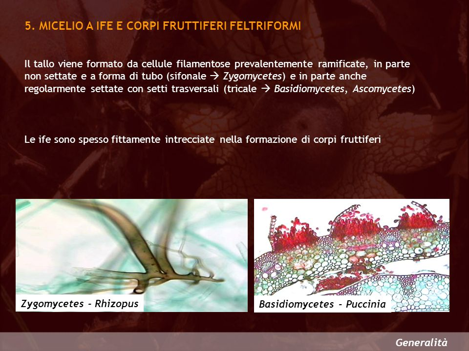 5. MICELIO A IFE E CORPI FRUTTIFERI FELTRIFORMI