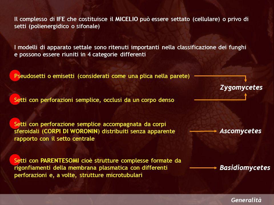 Zygomycetes Ascomycetes Basidiomycetes