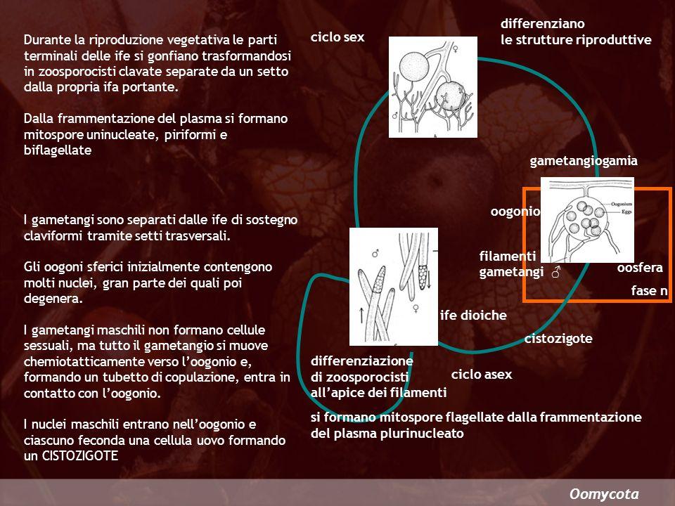 Oomycota differenziano le strutture riproduttive ciclo sex