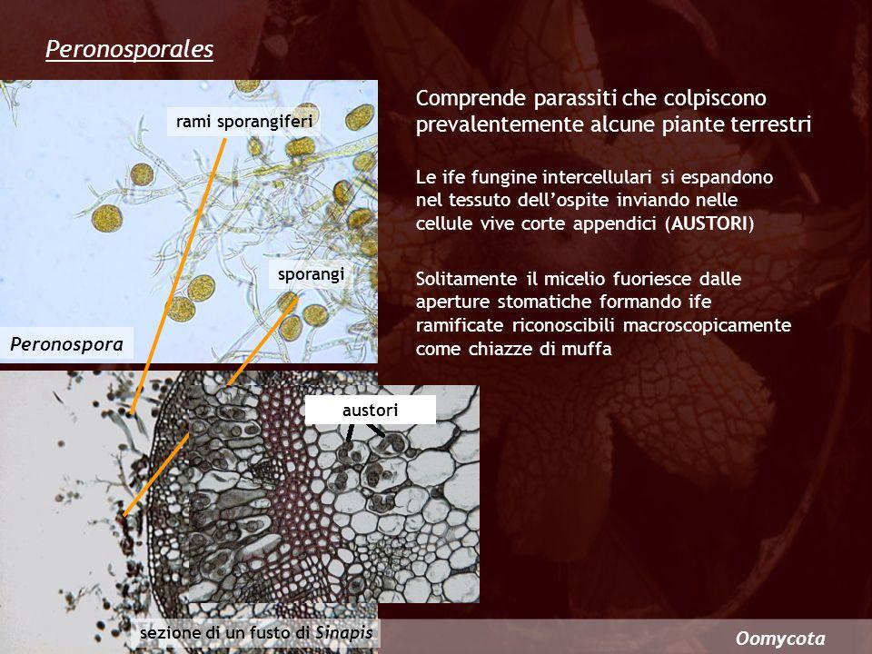 Peronosporales Comprende parassiti che colpiscono prevalentemente alcune piante terrestri. rami sporangiferi.