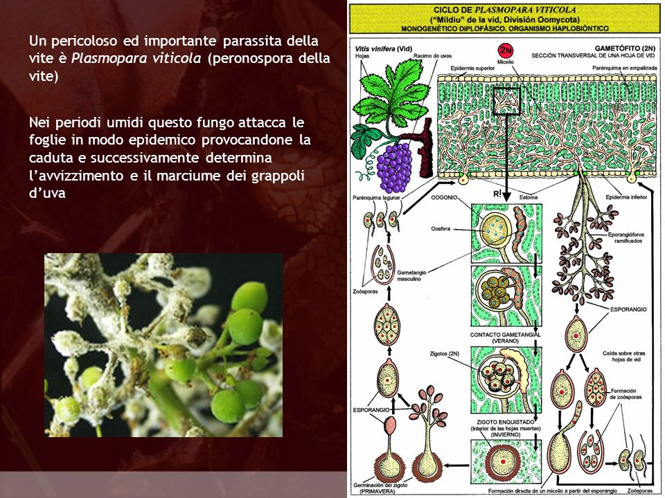 Un pericoloso ed importante parassita della vite è Plasmopara viticola (peronospora della vite)