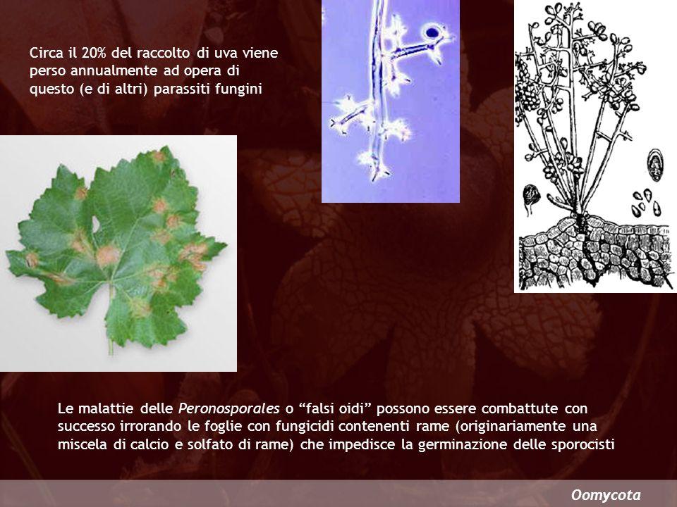 Circa il 20% del raccolto di uva viene perso annualmente ad opera di questo (e di altri) parassiti fungini