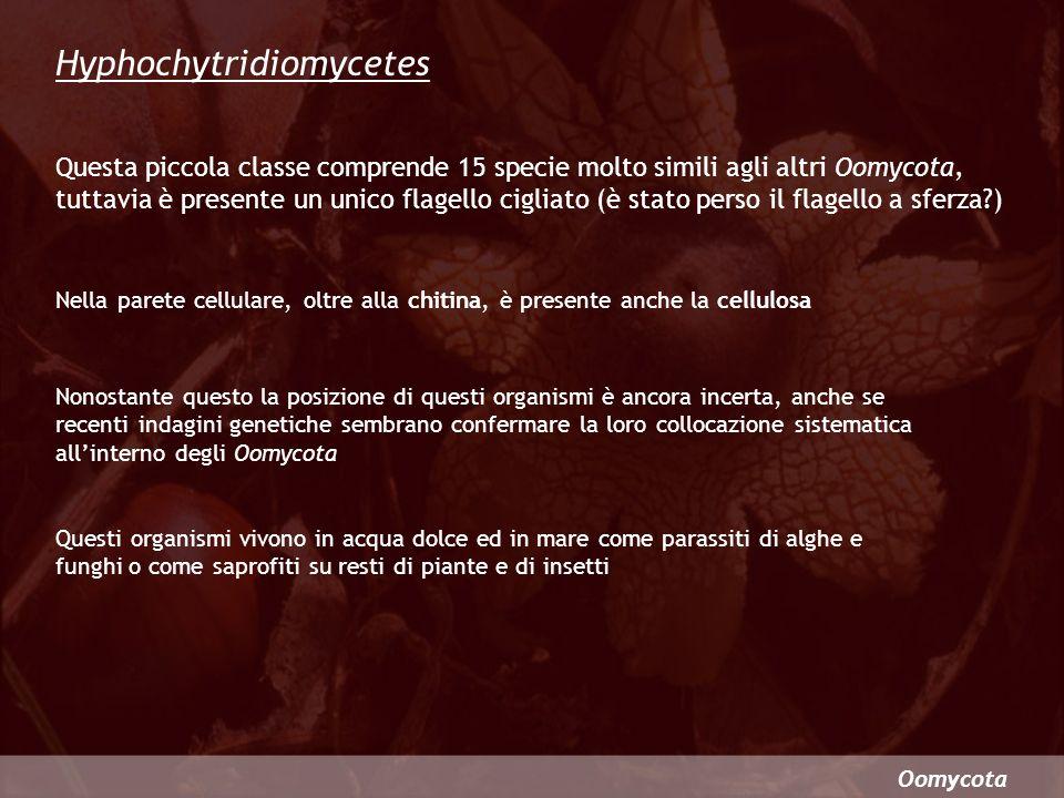 Hyphochytridiomycetes