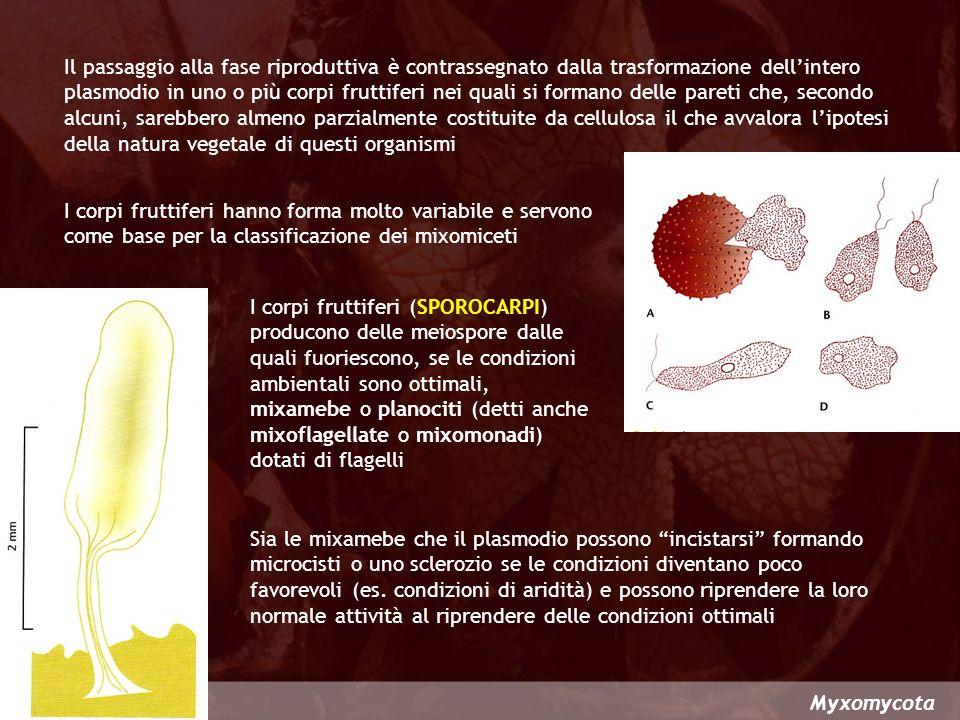 Il passaggio alla fase riproduttiva è contrassegnato dalla trasformazione dell'intero plasmodio in uno o più corpi fruttiferi nei quali si formano delle pareti che, secondo alcuni, sarebbero almeno parzialmente costituite da cellulosa il che avvalora l'ipotesi della natura vegetale di questi organismi