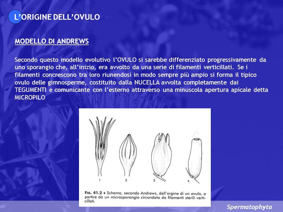 L'ORIGINE DELL'OVULO MODELLO DI ANDREWS
