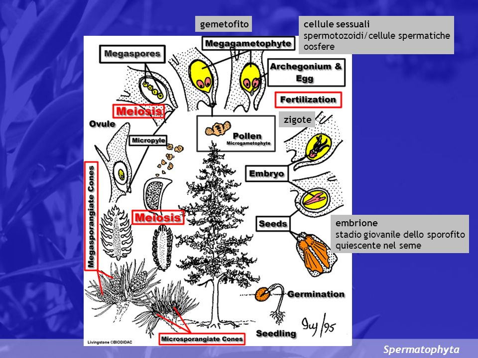 Spermatophyta gemetofito cellule sessuali