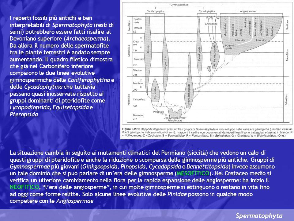 I reperti fossili più antichi e ben interpretabili di Spermatophyta (resti di semi) potrebbero essere fatti risalire al Devoniano superiore (Archaeosperma). Da allora il numero delle spermatofite tra le piante terrestri è andato sempre aumentando. Il quadro filetico dimostra che già nel Carbonifero inferiore compaiono le due linee evolutive gimnospermiche delle Coniferophytina e delle Cycadophytina che tuttavia passano quasi inosservate rispetto ai gruppi dominanti di pteridofite come Lycopodiopsida, Equisetopsida e Pteropsida