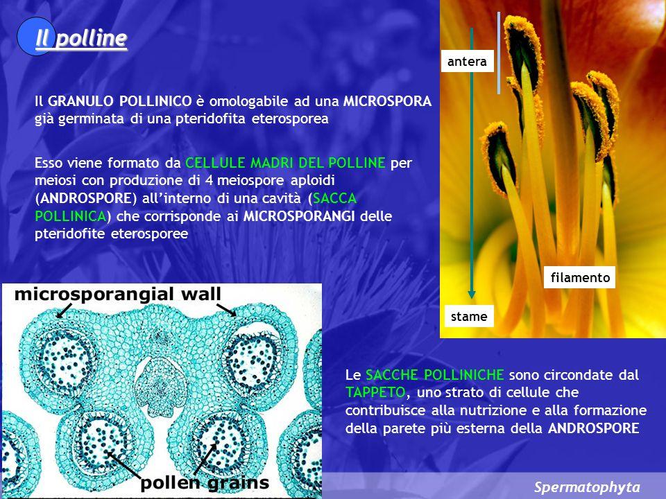 Il polline antera. Il GRANULO POLLINICO è omologabile ad una MICROSPORA già germinata di una pteridofita eterosporea.