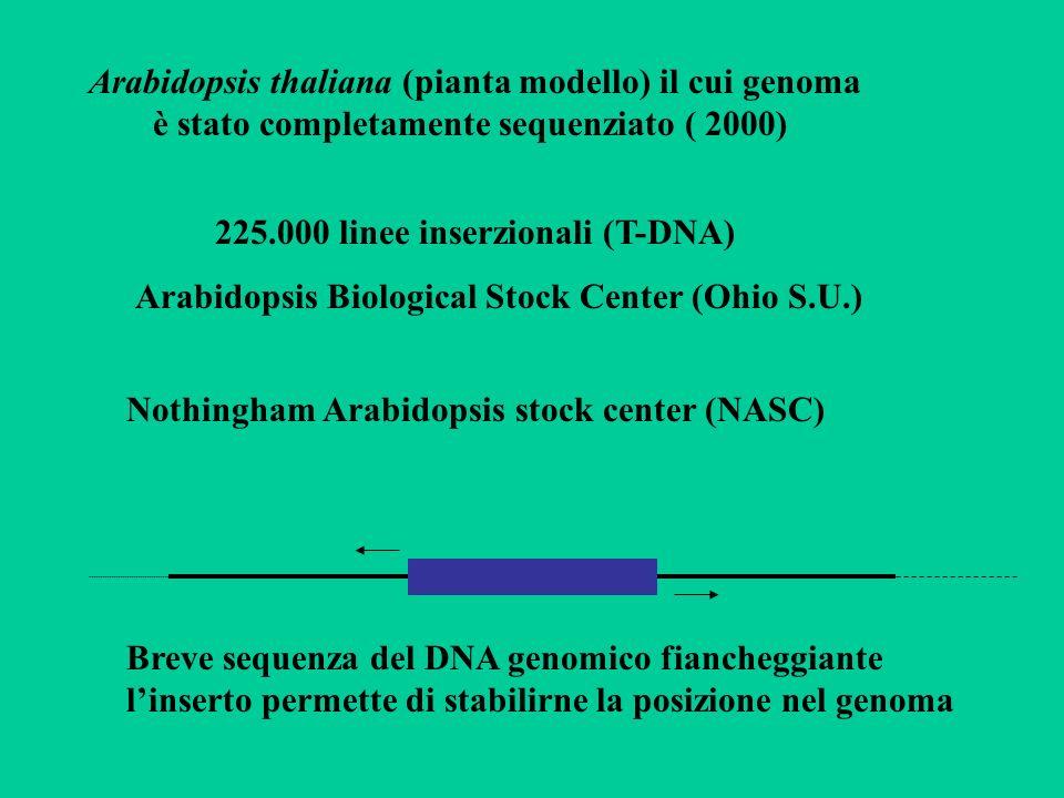 Arabidopsis thaliana (pianta modello) il cui genoma è stato completamente sequenziato ( 2000)