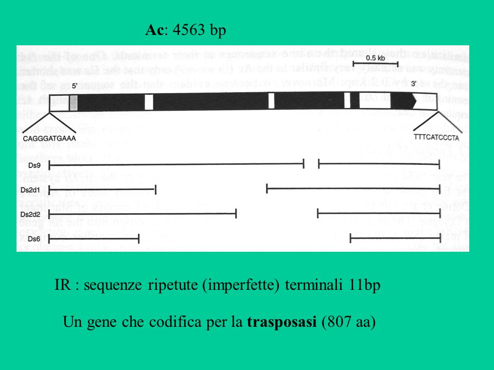 Ac: 4563 bp IR : sequenze ripetute (imperfette) terminali 11bp.