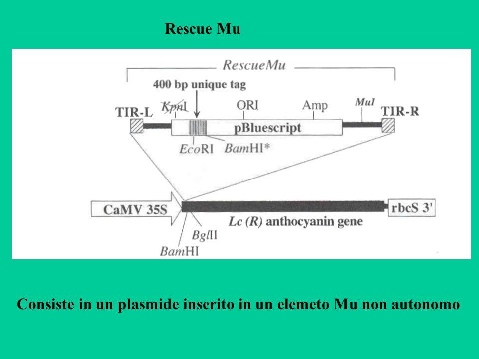 Rescue Mu Consiste in un plasmide inserito in un elemeto Mu non autonomo