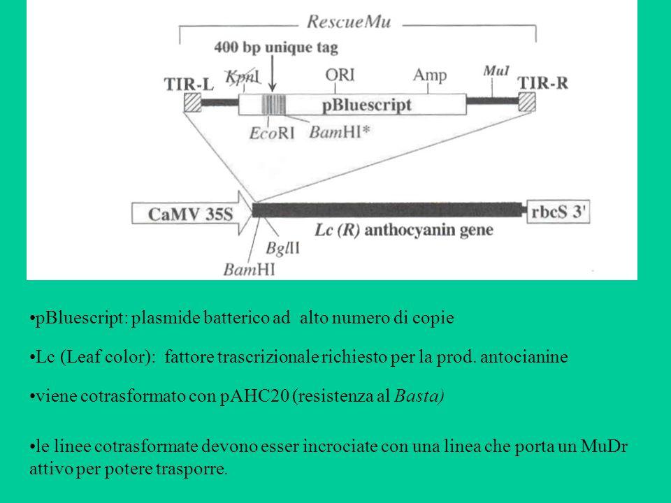 pBluescript: plasmide batterico ad alto numero di copie
